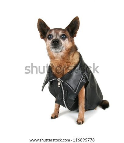 a chihuahua dressed up as a biker - stock photo