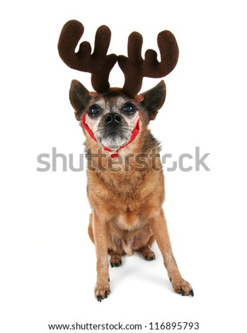 a chihuahua dressed up for christmas as a reindeer