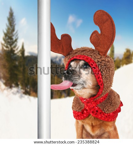 a chihuahua dressed up for christmas as a reindeer licking a frozen pole with his tongue - stock photo