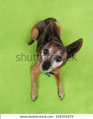 a chihuahua laying on a green blanket - stock photo