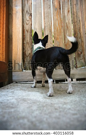 a chihuahua looking for her owner through a fence (focus on the head)  - stock photo