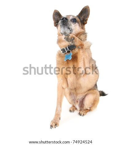 a chihuahua mix dog giving a high five - stock photo