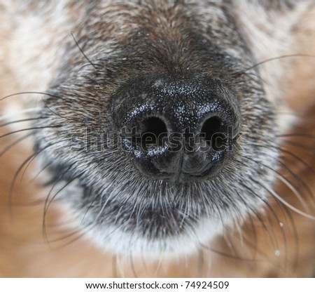 a chihuahua mix dog's nose up close - stock photo