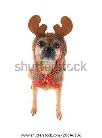 a chihuahua mix dressed up as a reindeer