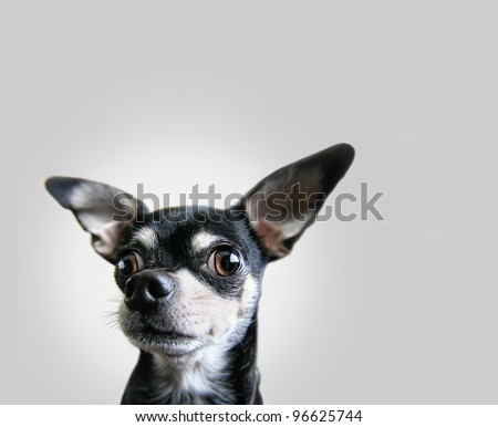 a chihuahua on an isolated background - stock photo