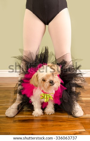 A Chihuahua Pomeranian Cross Small Dog is dressed up in a tutu and sits between a child ballet dancers legs.