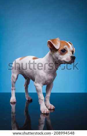 a chihuahua puppy on blue