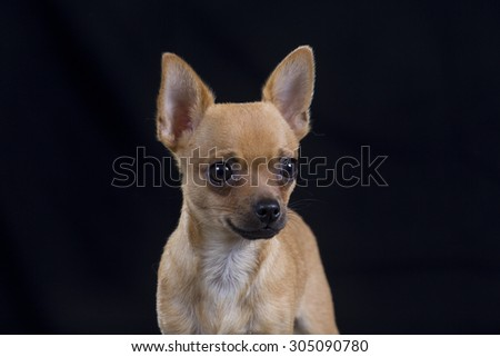 A chihuahua puppy portrait with a black background. Image taken in a studio.