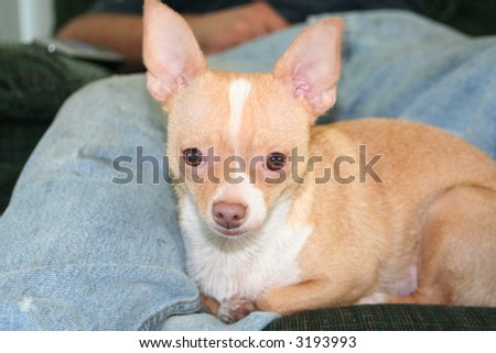 A chihuahua relaxing on a chair with Dad