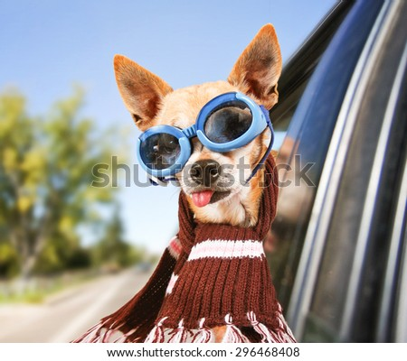 a chihuahua riding in a car with his head out the window with goggles on  - stock photo