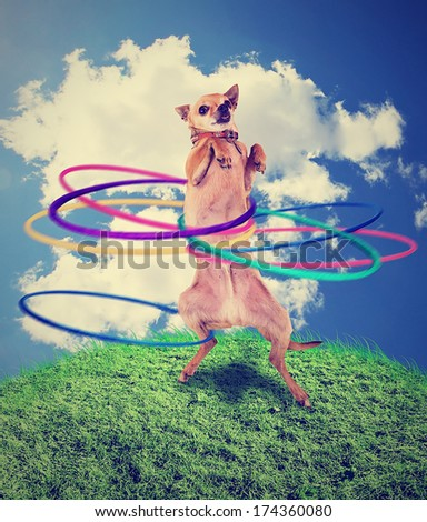 a chihuahua using a hula hoop done with a vintage retro instagram filter - stock photo