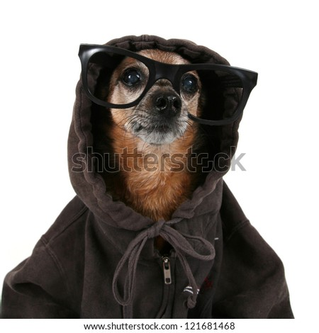 a chihuahua wearing a hoodie and glasses - stock photo