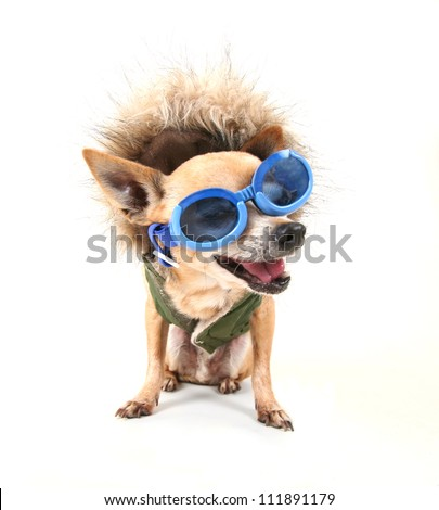 a chihuahua with a furry coat and goggle on