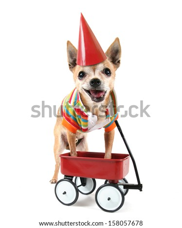 a chihuahua with a tiny wagon and a party hat on - stock photo