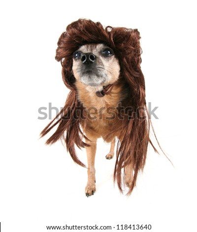 a chihuahua with a wig on - stock photo