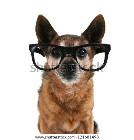 a chihuahua with glasses on - stock photo