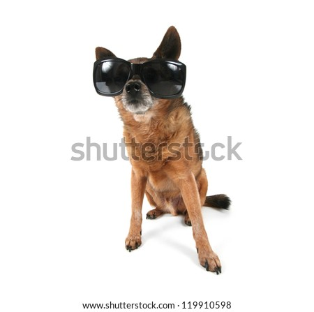 a chihuahua with sunglasses on - stock photo