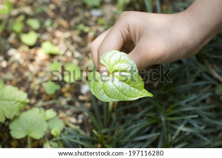 A Child'S Hands And Heart-Shaped Leaves - stock photo