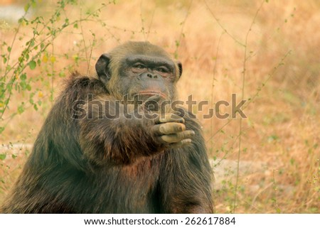 A chimpanzee - stock photo