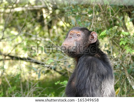 A Chimpanzee at Ol Pejeta Conservancy - stock photo