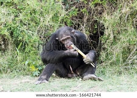 A Chimpanzee eating sugarcane at Ol Pejeta Conservancy - stock photo