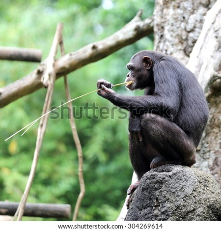 A Chimpanzee Holding a Blade of Grass and Drinking its Juice  - stock photo