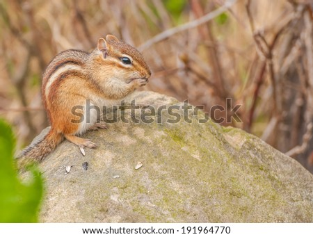 A Chipmunk perched on a rock eating bird seed. - stock photo