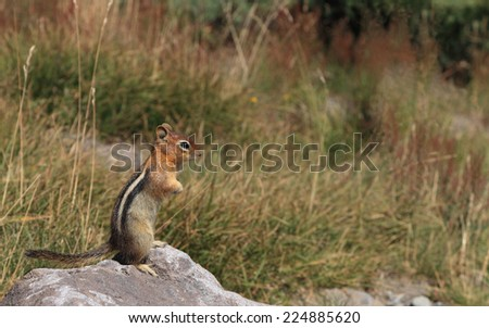A chipmunk stands at attention while foraging for food at the base of Mount Hood, Oregon. - stock photo