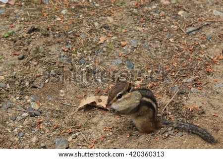 A chipmunk with a peanut in its cheek sitting in the dirt.