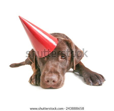 a chocolate lab with a party hat isolated on a white background - stock photo