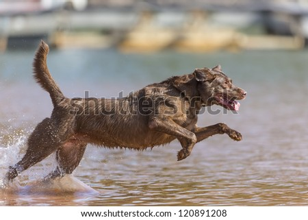 A Chocolate Labrador jumps into a lake as he trains to retrieve decoys - stock photo