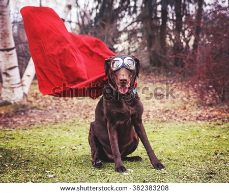 a chocolate labrador retriever posing for the camera during a hot summer day with goggles toned with a retro vintage instagram filter app or action - stock photo