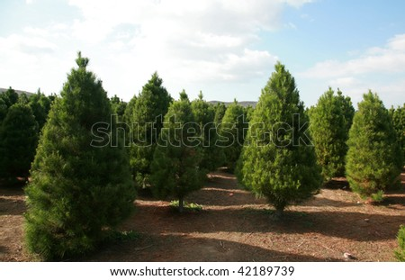 a Christmas Tree farm in southern california - stock photo