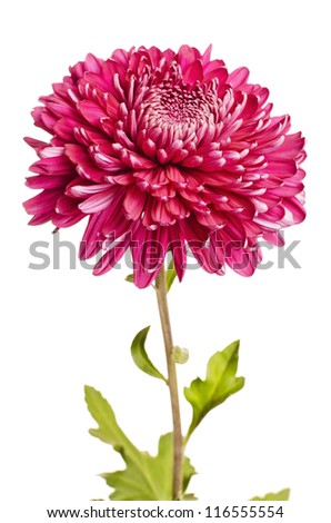 A chrysanthemum - stock photo