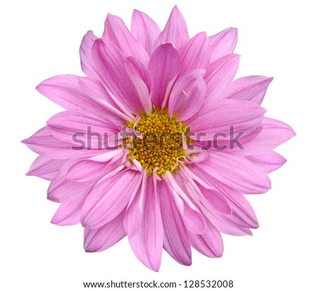 A Chrysanthemum daisy isolated white background - stock photo