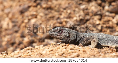A Chuckwalla Lizard suns itself on a rock in Red Rock Canyon, Nevada. - stock photo