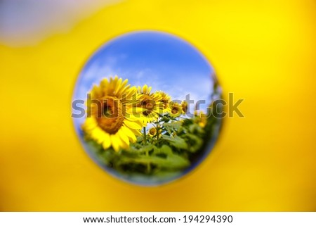 A circular design showing a field of sunflowers. - stock photo