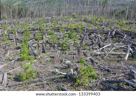 A clearcut with revegetating planted trees