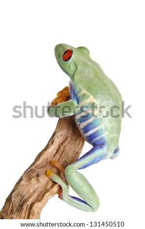 A climbing red eyed tree frog on over white background.