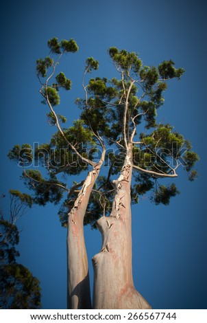 A close couple of two beautiful very tall Australian native gum trees - upward view with  blue sky background - stock photo