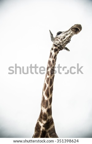 A close encounter with a Giraffe
