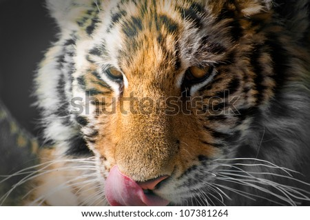 A close of up a 6 month old tiger