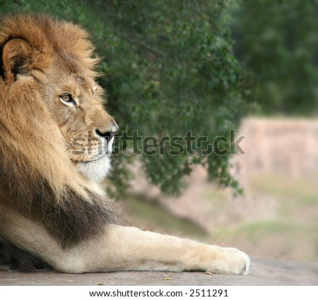 A close shot of a lion resting - stock photo