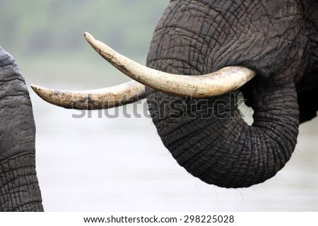 A close up abstract image of an elephants tusks. - stock photo