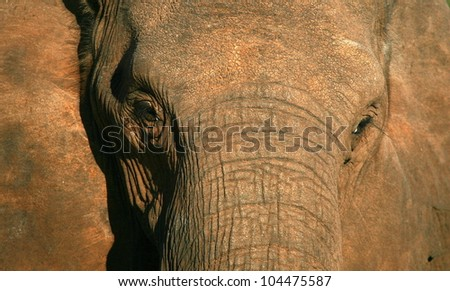 A close up abstract portrait of a elephants face in this front view profile portrait, taken in Addo elephant national park,eastern cape,south africa