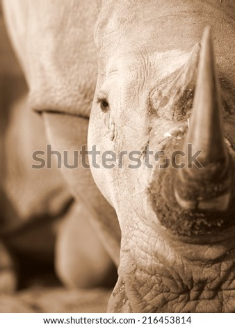 A close up abstract sepi tone image of a white rhinoceros. - stock photo