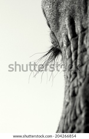 A close up black and white image of an African elephants eyelashes. - stock photo