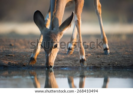 A close-up, cropped colour image of an impala doe drinking at a waterhole at sunrise - stock photo