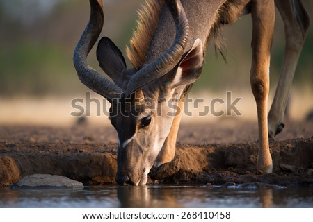 A close up, cropped, colour photo of a kudu bull drinking at a waterhole. - stock photo