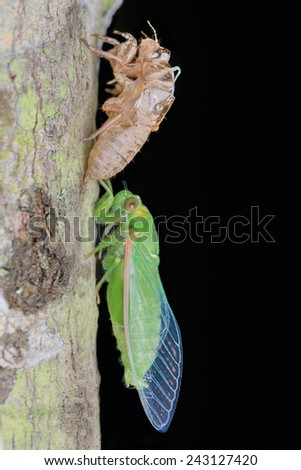 A close-up emerging green Cicada. Image has grain or noise and soft focus when view at full resolution. (Shallow DOF, slight motion blur ) - stock photo